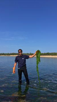 récolte des algues de l'île de ré