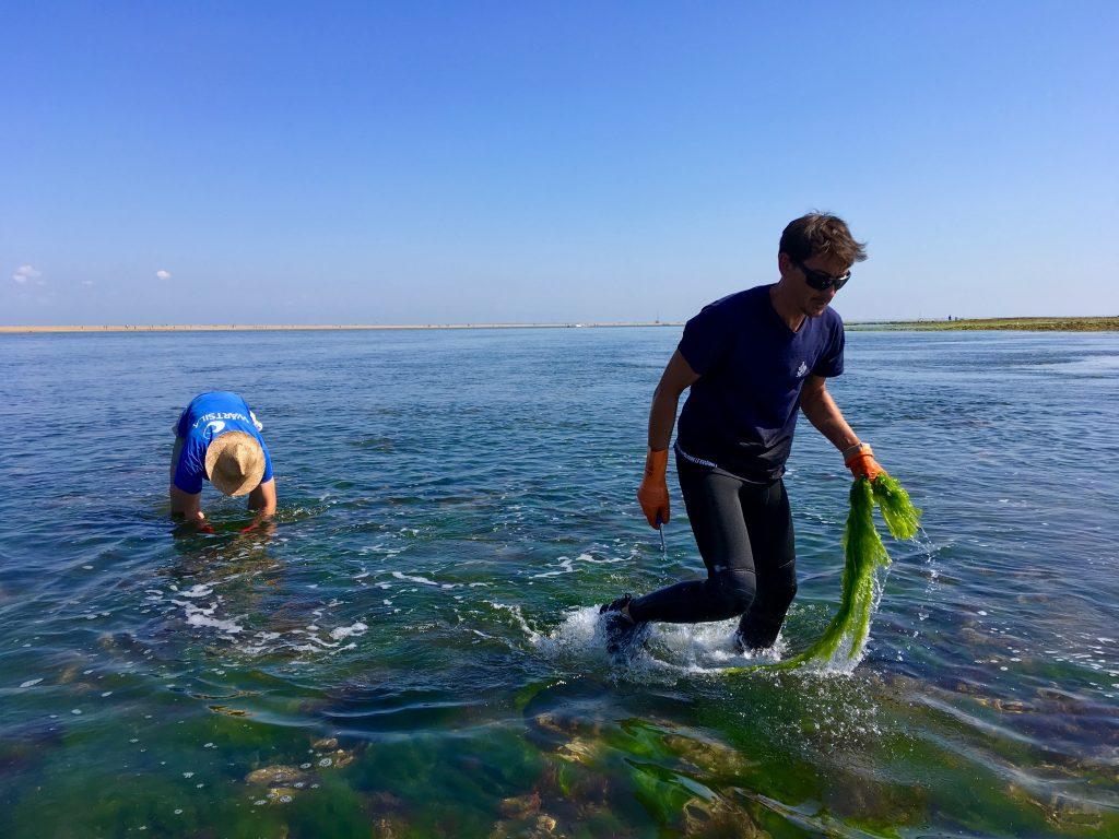 pêche des algues de l'île de Ré